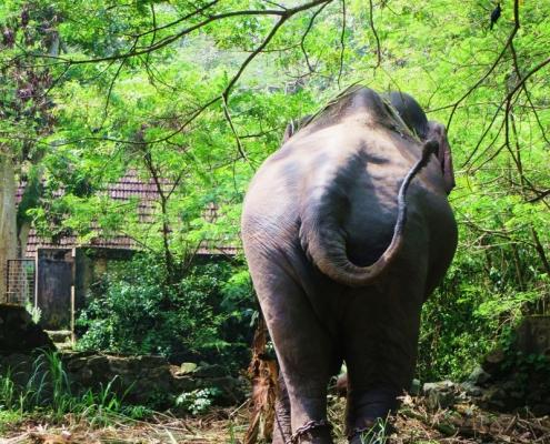 Elefant Indien